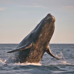 whaleargentinie.jpg