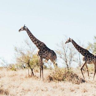 Giraffen-tobin-rogers-kdTjNVs0wQ8-unsplash.jpg