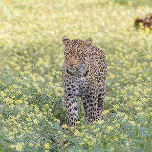 MashatuLodge-luipaardLarge.jpg