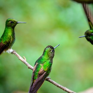 HummingbirdsColombia.jpg
