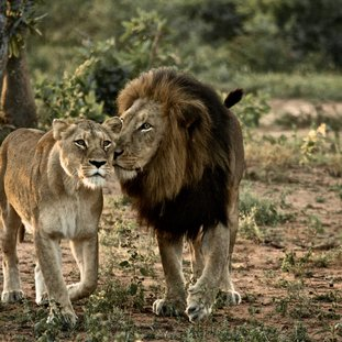 lioncouple-shutterstock_81172393large.jpg