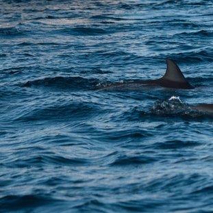 dolphins-jeremy-wermeille-wagvenplkfm-unsplashresizelarge.jpg