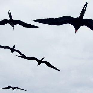frigatebird-frigatebird1_wide-996e04d62a19579fea2409b2b739ed0ca977b85f.jpg